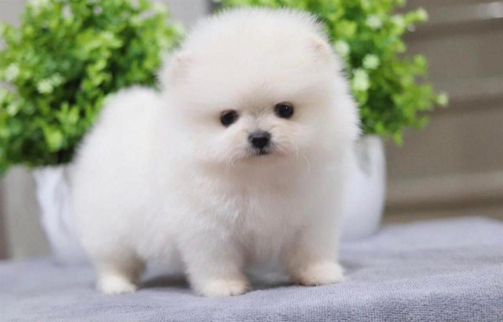 Küçücük Bedeniyle Herkesi Büyüleyen Pomeranian Boo Köpeği